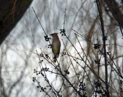 February, Cedar Waxwing